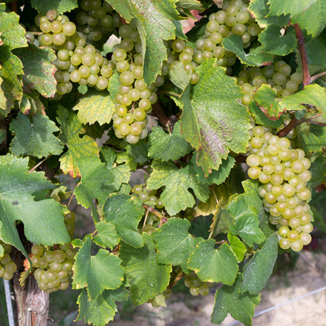 Pinot Gris Ready for Harvest